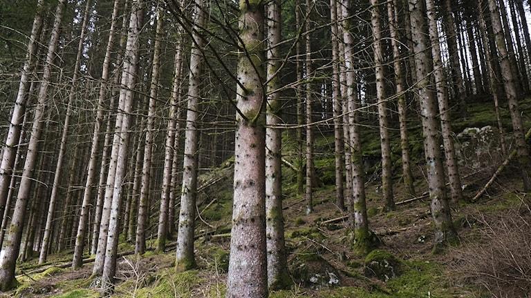 Skogsodling där träden är jämnstora.