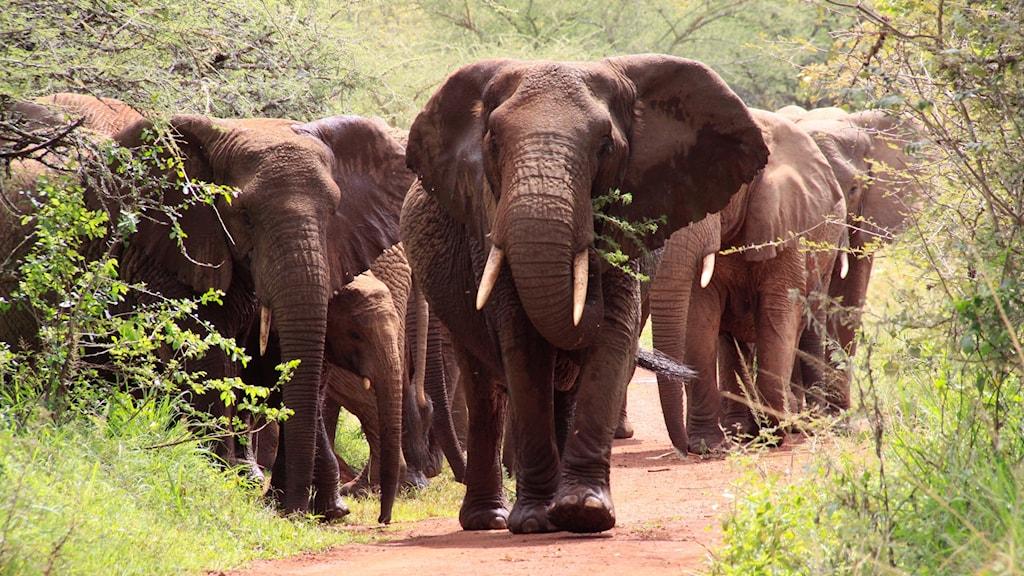 Flera elefanter på promenad