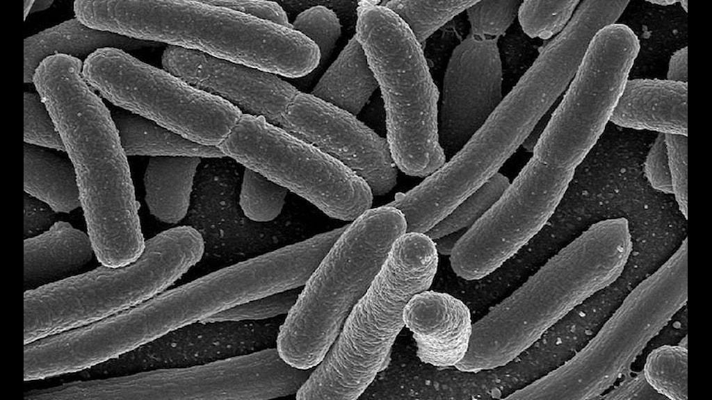 Escherichia coli är ett exempel för gram-negativa bakterier som kan orsaka sjukdomar. Mikroskopbild i svart-vit.