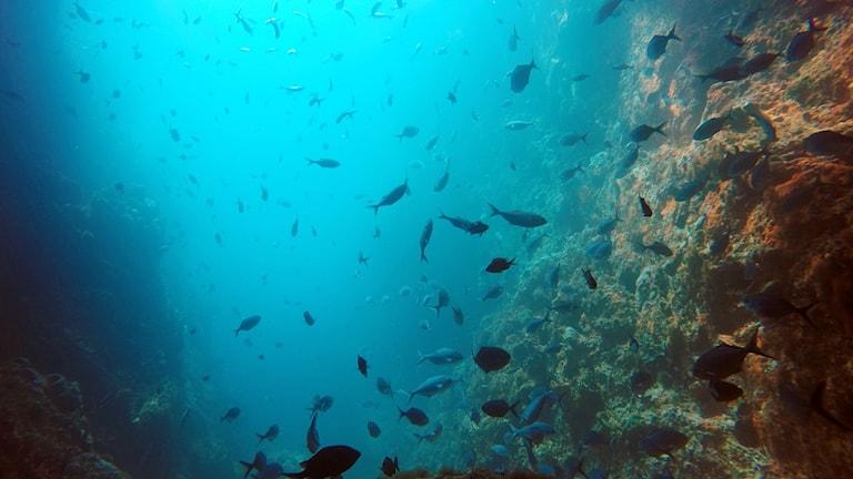 Bild på fiskar i havet vid en korall