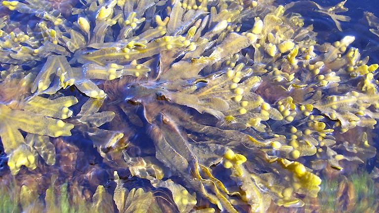 En ruska med blåstång i Östersjön.