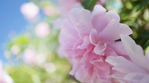en rosa utslagen ros med många kronblad sitter på en grön kvist.