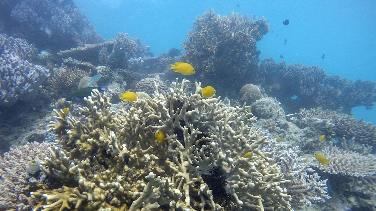 Korall i stora barriärrevet.