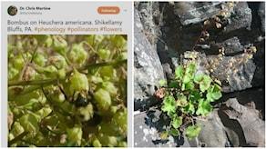 bild på tweeten som gjorde att man upptäckte en ny växtplats för den ovanliga blomman Heuchera alba