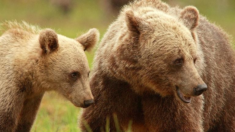 En björnhona med en unge i närbild.