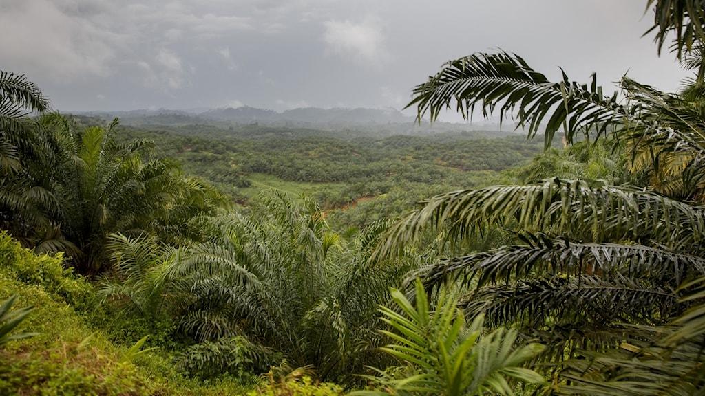 Regnskog Sumatra.