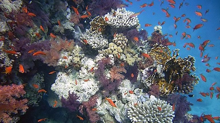 koraller i olika färger med röda fiskar som simmar omkring.