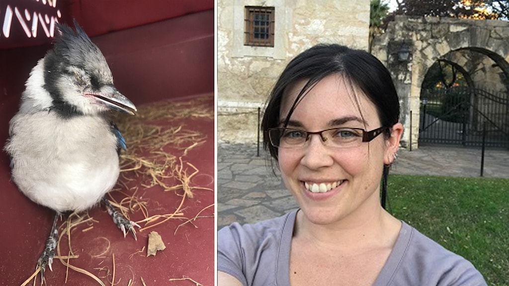 En sjuk blåskrikeunge och viltveterinären Nicole Lewis
