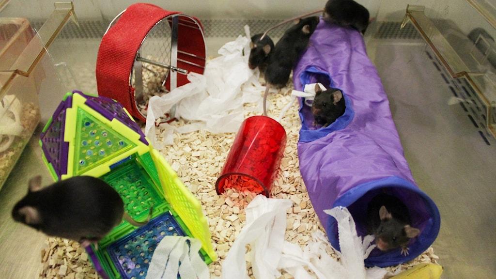 Möss med färgglada leksaker, tunnlar och ett hjul, i en plastlåda.