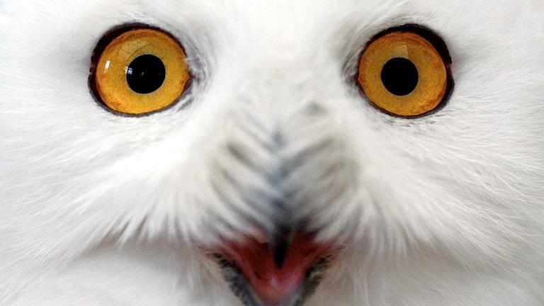 En fjälluggla med uppspärrade ögon och gapande näbb.