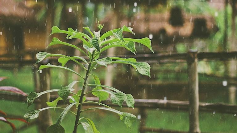 Regndroppar träffar bladen på en växt.