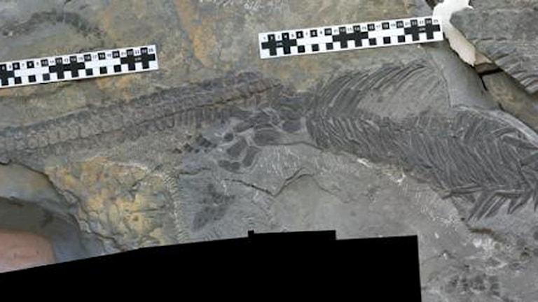 Del av fossilet