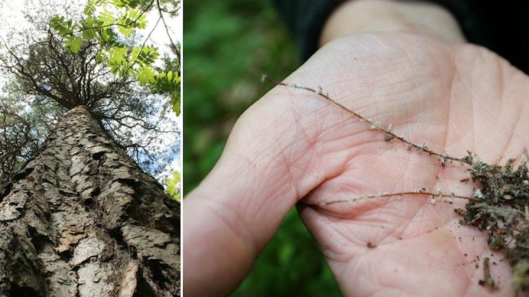 Till vänster en tall sedd nerifrån. Till höger små fina trädrotspetsar med mykorrhiza på.