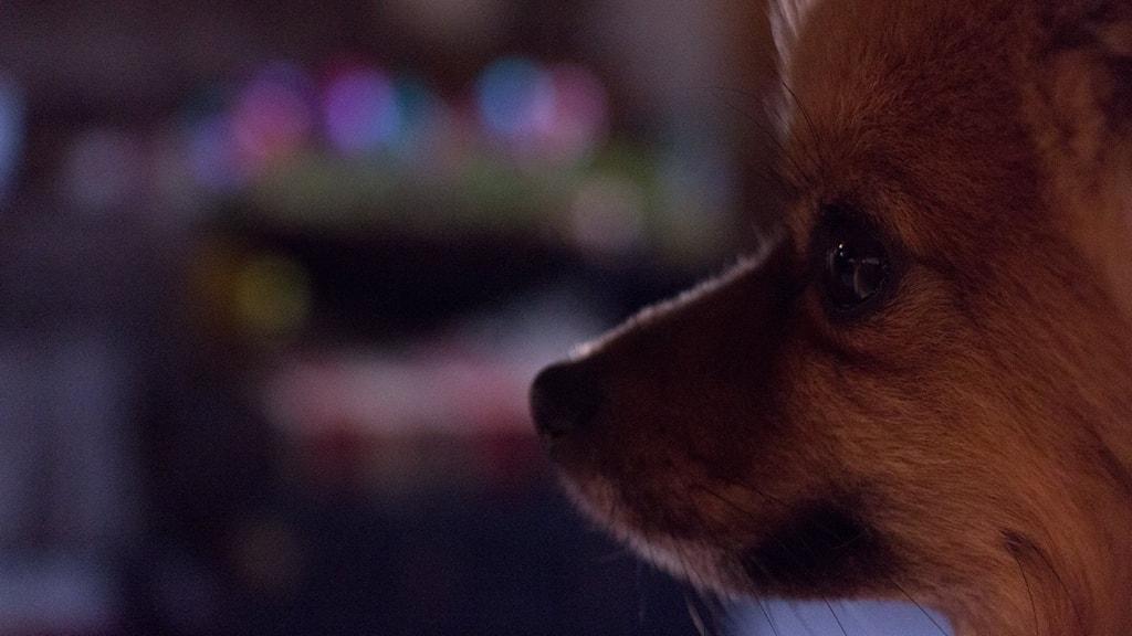 närbild av en liten pomeranian, en liten orangefluffig sällskapshund