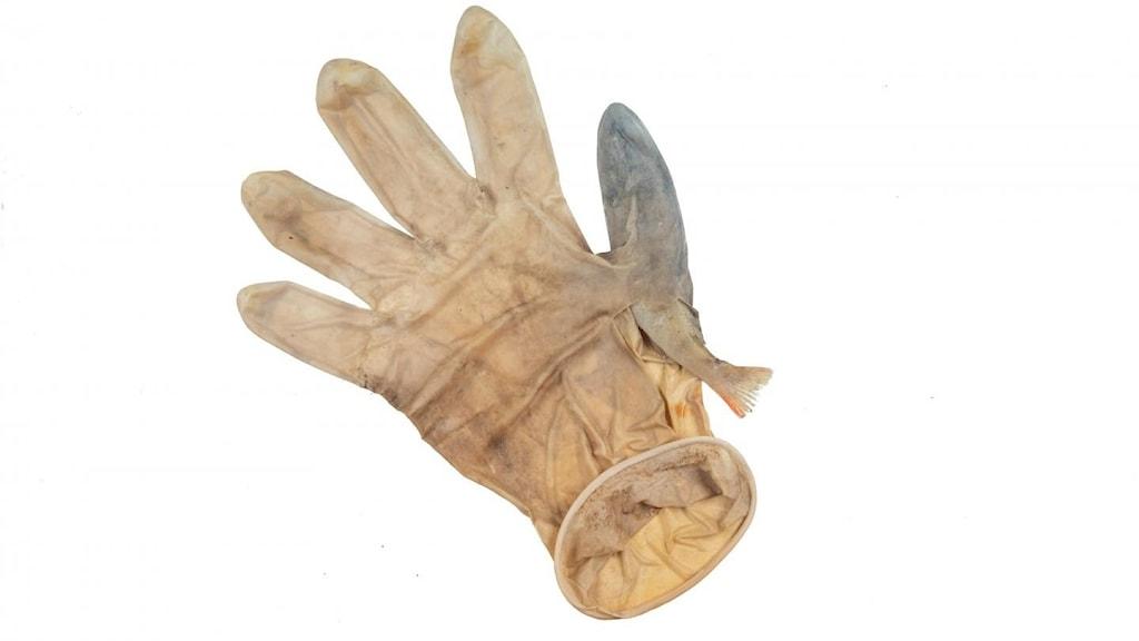 En abborre har simmat in i och fastnat i en plasthandske som använts under coronapandemin. Fyndet har hittat i Nederländerna.