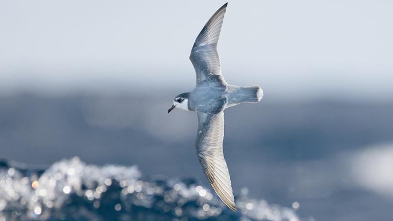 Flygande blåpetrell