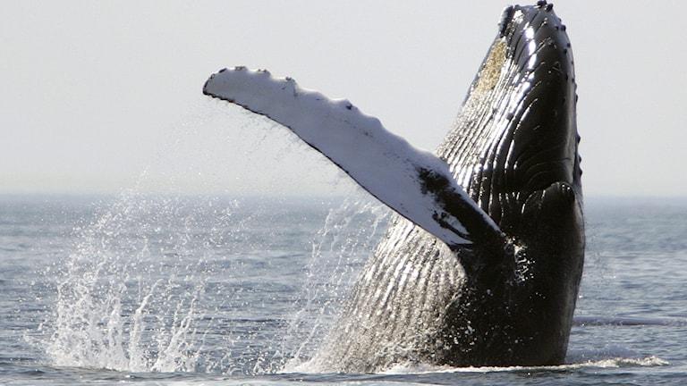 Val sticker upp halva kroppen inklusiva bröstfenan ovanför havsytan.