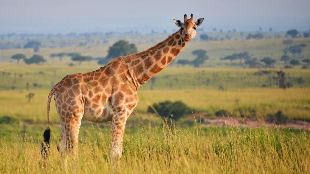 En giraff står i gräset på en savann i Uganda.