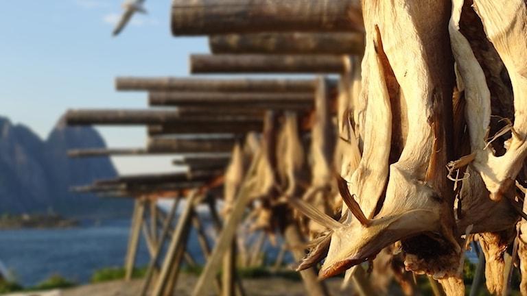 Så kallad stockfisk, torkad och uppspänd fisk från Lofoten.
