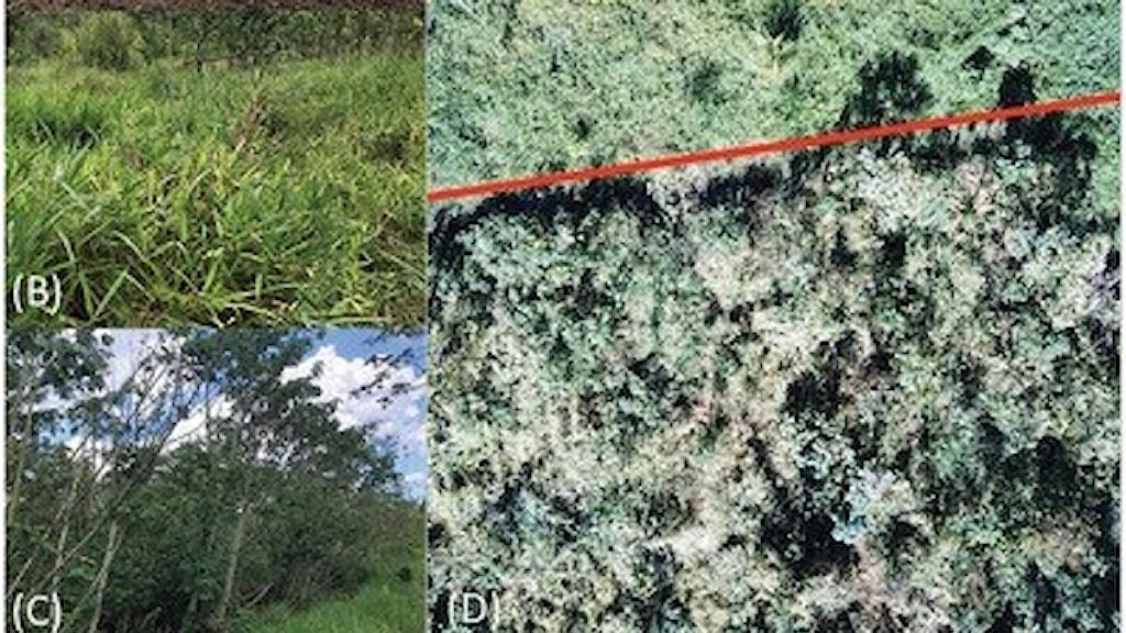Flygbild på skillnaden mellan den mark som fått kafferester och den som inte fått det. Mycket mer växtlighet på marken som fått kaffe.