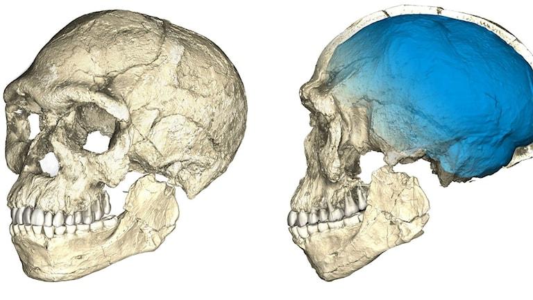 Tecknade bilder på fossila skallar av vår art Homo sapiens.