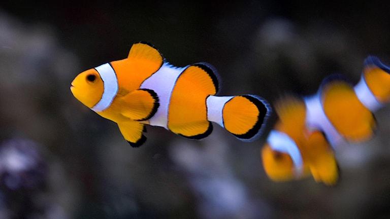 En vit- och orangerandig clownfisk i ett akvarium.