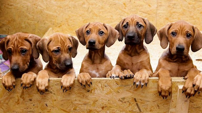 Fem hundvalpar står på rad.