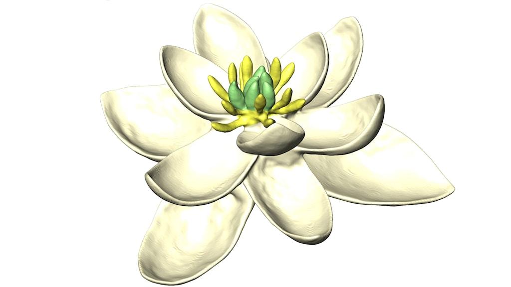 Datoranimerad bild av hur den första blomman skulle kunna se ut. Den har 9 vita blad, samt ett antal gula ståndare och gröna pistiller.