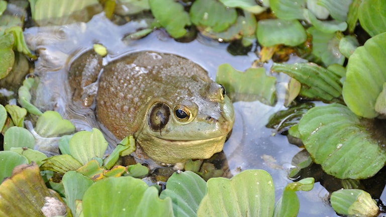 En oxgroda sitter och ser nöjd ut en ett vattendrag omgiven av gröna blad. Grodan är militärgrön, rund och har en tydlig mörk fläck bakom ögat.