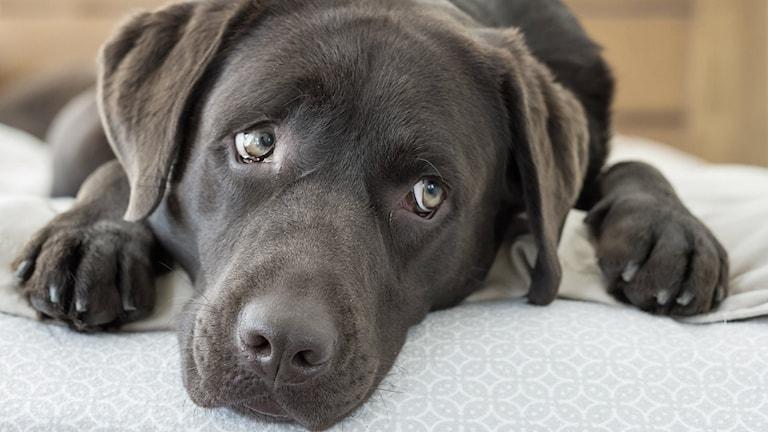 Labrador retriver ligger och tittar längtansfullt bort, kanske mot en godisbit.