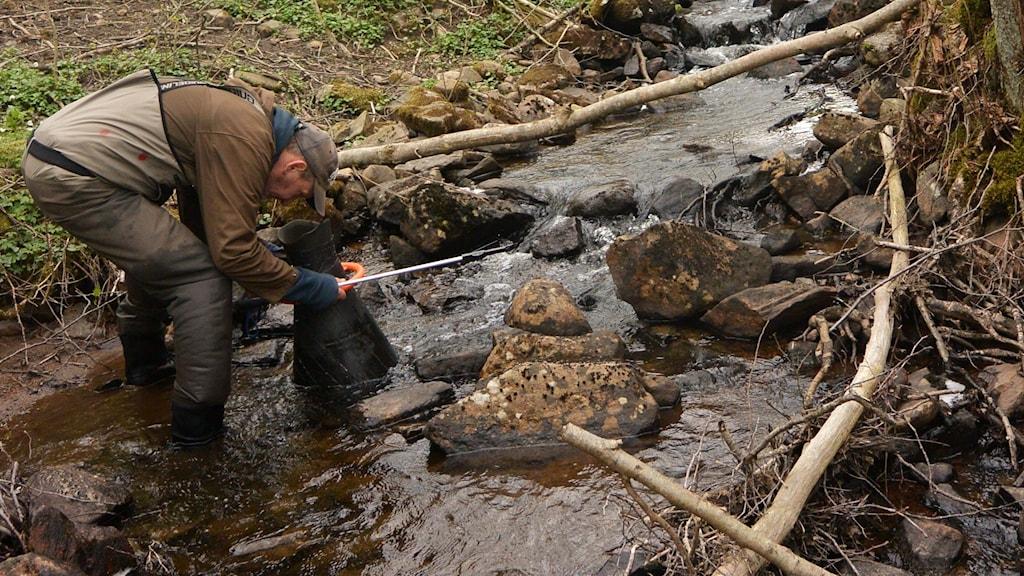 Biolog Niklas Wengström spanar efter återplanterade flodpärlmusslor.