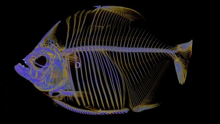 Pirayabild skapad genom att skanna en fisk med datortomografi.