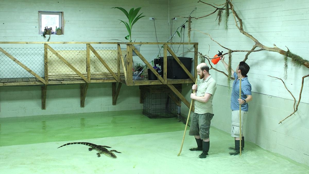 Forskarna Ivo Jacobs och Stephan Reber vattnar växter i ett hus med sex alligatorer.