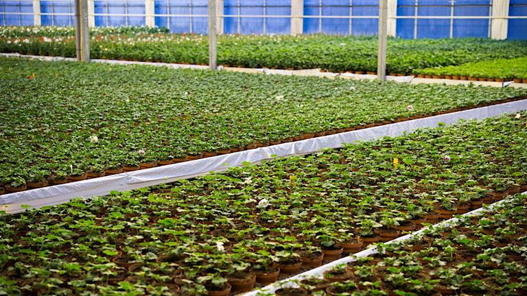 Stort växthus med gröna små växter