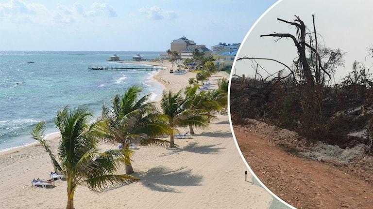 Palmer och turkost vatten vid en strand på Caymanöarna, samt en skövlad skog.