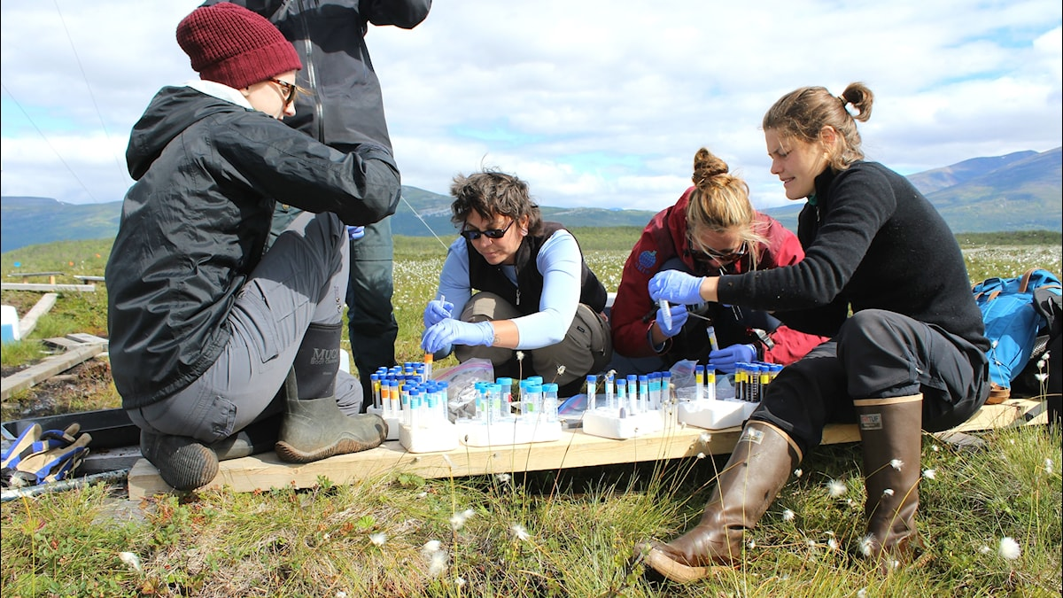 Forskare sorterar prover av myrmark i provrör.