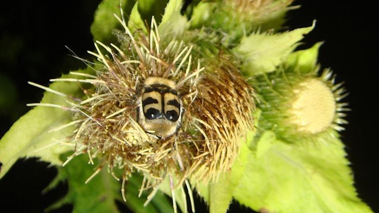 Kåltistel uppifrån med en skalbagge som sitter på växten.