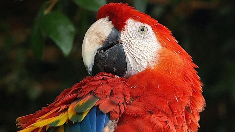 Huvudet på en röd ara.