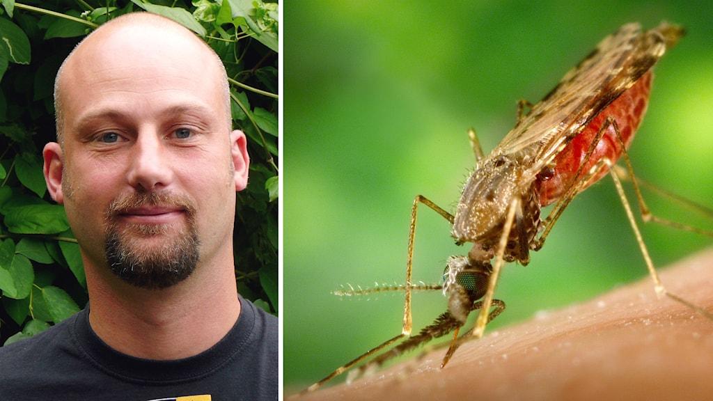 Forskaren Rickard Ignell till vänster, en malariamygga till höger
