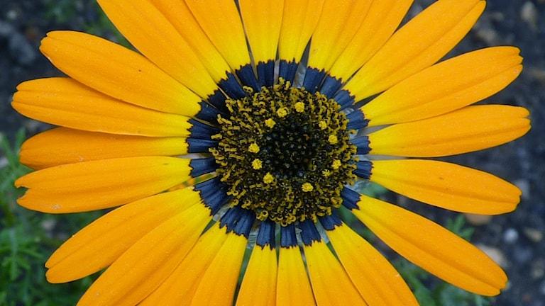 En närbild på gul blomma med en blå ring runt ståndare och pistiller.