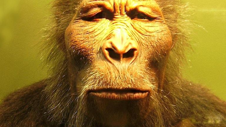 En rekonstruktion av hur den tidiga människoarten Paranthropus boisei kan ha sett ut.