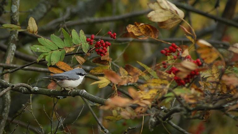 En nötväcka, en småfågel med vit mage och gråsvarta vingar sitter i ett rönnbärsträd i ett höstigt landskap.