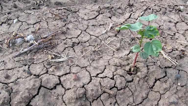 en ung bomullsplanta har lyckats gro och växa på mycket torr jord i Texas.