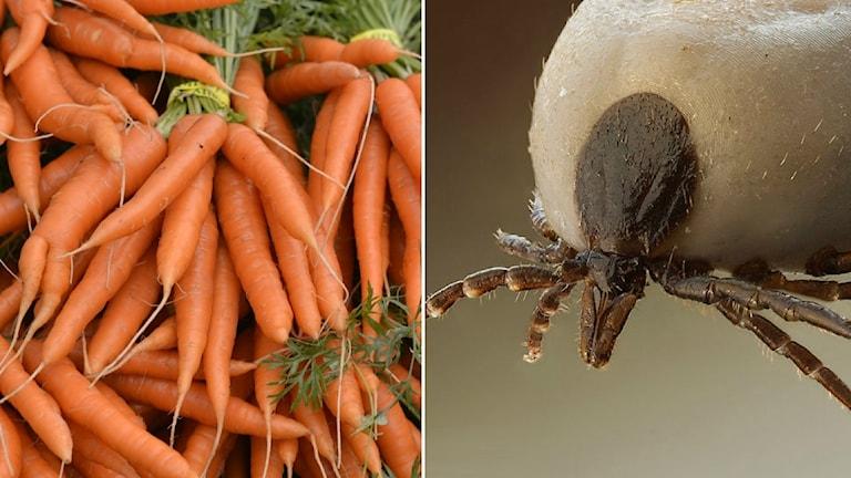 Kollage morötter och fästing
