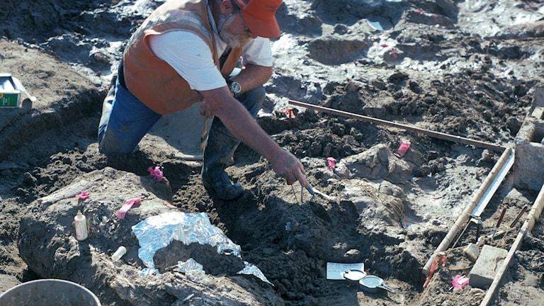 Paleontologen Don Swanson från San Diegos naturhistoriska museum pekar ut sten invid ett stort fragment från en mastodontbete vid en utgrävningsplats.