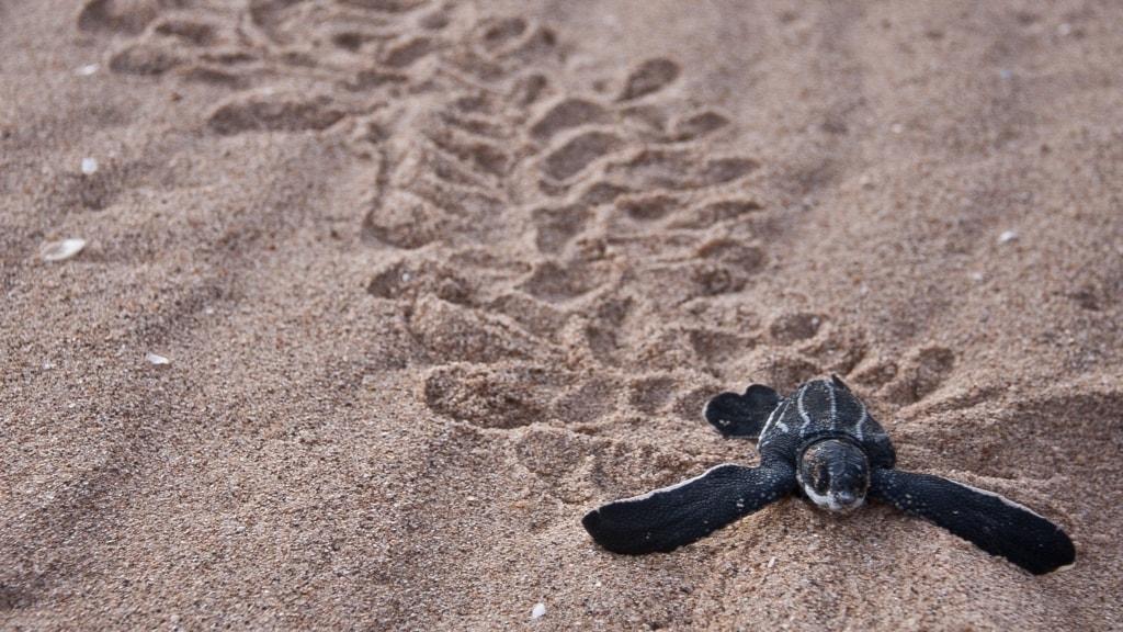 en sköldpaddeunge paddlar sig fram genom sanden på en strand