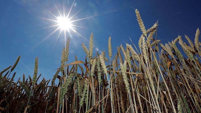 Solen lyser över veteplantor i närbild på en åker.