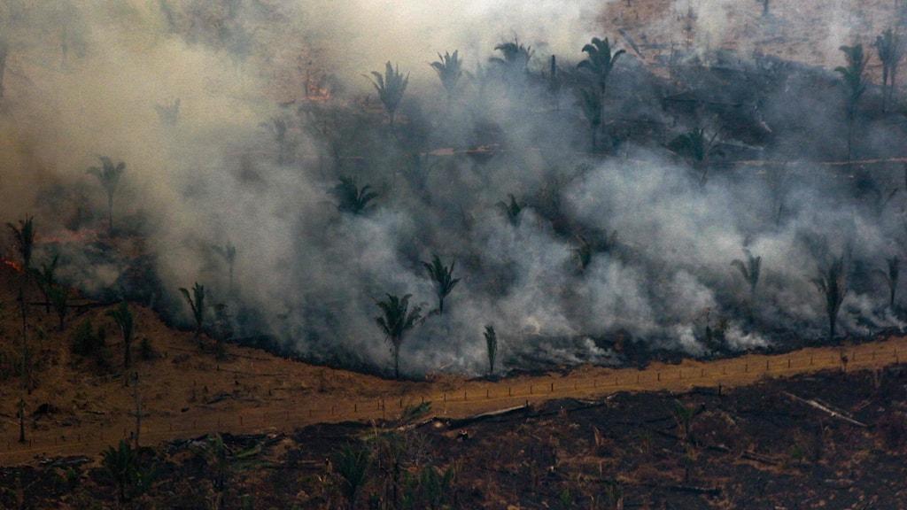 Amazonas regnskog brinner.