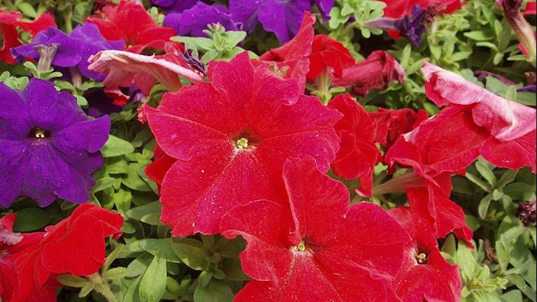 Röda och lila petunior
