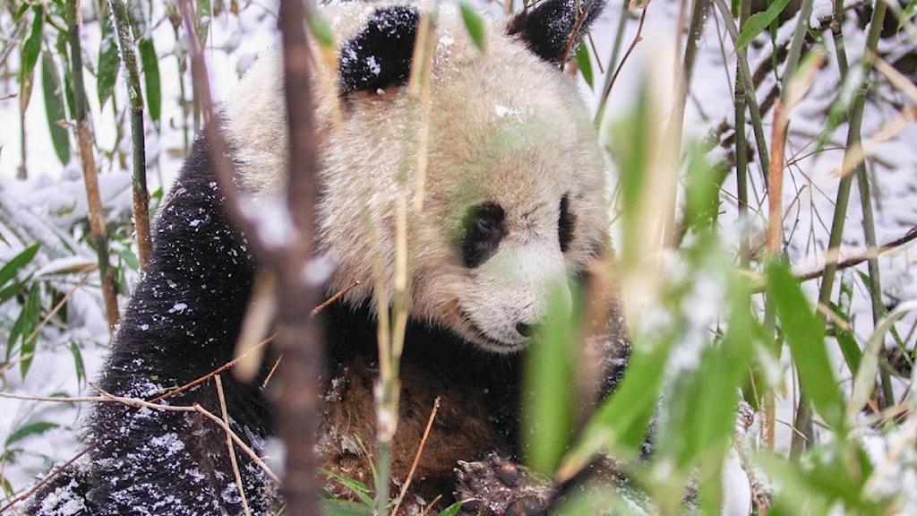 En jättepanda bland bambu i Kina.
